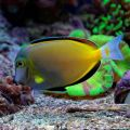 Powder Brown Tang(Acanthurus Japonicus)
