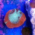 Brain Coral (Trachyphyllia spp.)