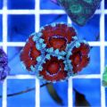 Acan Brain Coral (Acanthastrea Echinata)