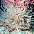 Caribbean Anemone (Condylactis Gigantea)