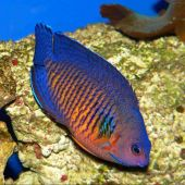 Coral Beauty Angelfish (Centropyge Bispinosa)