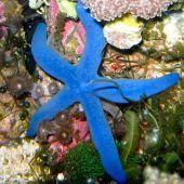 Linckia Sea Star, Blue (Linckia Laevigata)