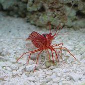 crevete Peppermint Shrimp (Lysmata Wurdemanni )