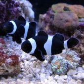 Black & White Ocellaris Clownfish (Amphiprion ocellaris var.)