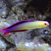 Firefish Purple (Nemateleotris Decora)