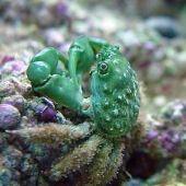 Emerald Crab (Mithraculus Sculptus) Mitrax