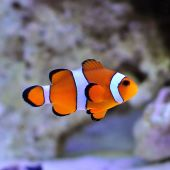 Ocellaris Clownfish (Amphiprion Ocellaris)