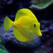Yellow Tang - Hawaii (Zebrasoma Flavescens) M