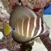 Sailfin Tang (Zebrasoma Veliferum) M