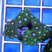 Colony Polyp (Zoanthus sp.)