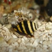 Melc Bumble Bee Snail (Engina sp.)
