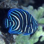 Peste Koran Angelfish (Pomacanthus Semicirculatus) J