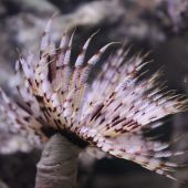 Vierme  Feather Duster - Sabellastarte Indian Ocean