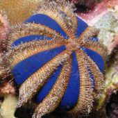 Arici Red/Blue Urchin (Mespilia Globulus)
