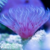 Vierme Pink White Feather Duster (Bispira Guinensis)