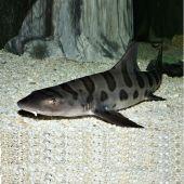 Rechin - Shark - Leopard Triakis Scyllium