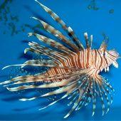 Peste Volitan Lionfish, Colored (Pterois volitans)