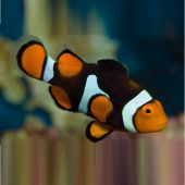 Teardrop Black Percula - Amphiprion Percula M