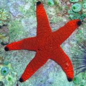 Red Sea Star (Fromia Indica.)