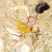 Crevete Red Leg Shrimp (Stenopus Zanzibaricus)