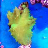 Cabbage Leather Coral (Sinularia brassica)