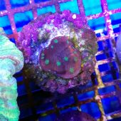 ​Chalice Alien Eye Coral  (Echinophyllia sp.)