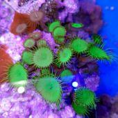 Coral Button Polyp - Giant Green Protopalythoa spp.