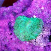 Bullseye Rhodactis Mushroom Green (Rhodactis inchoata)
