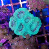 Goniastrea Coral - Aquacultured (Goniastrea sp.)