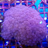 Pearl Bubble Coral (Plerogyra sp.)