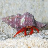 Red Leg Hermit Crab (Scarlet Reef Hermit Crab)