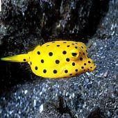 Cubicus Boxfish (Ostracion cubicus)