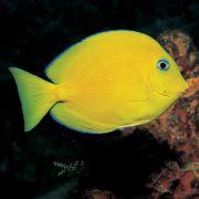 Blue Caribbean Tang (Acanthurus coeruleus) Juvenil