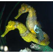 Seahorse Reidi - TANK BRED Hippocampus Reidi