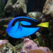 Blue Tang (Paracanthurus Hepatus) Regal Tang M