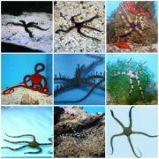 Serpent Sea Star, (Ophioderma sp.)