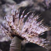 Vierme  Feather Duster - Sabellastarte SPP