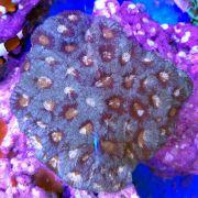 Goniastrea Coral - Aquacultured (Goniastrea sp.)