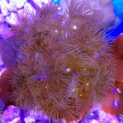 Colony Polyp Yellow (Glacilis Zoanthid)