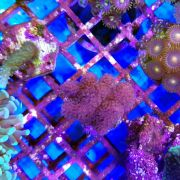Pink Stylophora Pistilata Coral (Stylophora sp.)
