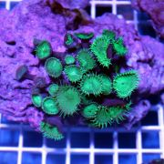 Coral Button Polyp - Giant Green Protopalythoa spp.