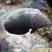 Black (Macropharyngodon negrosensis)