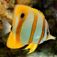 ​peste Copperband Butterflyfish (Chelmon Rostratus)