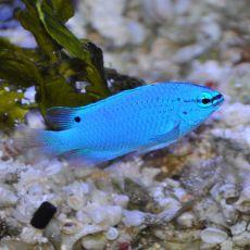Blue Damselfish (Chrysiptera Cyanea)