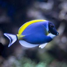 Powder Blue Tang (Acanthurus Leucosternon) M