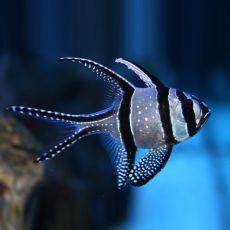 Kaudern's Cardinalfish (Pterapogon Kauderni) S