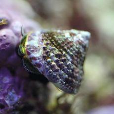Melc Banded Trochus Snail (Trochus sp)