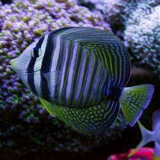 Sailfin Tang (Zebrasoma Desjardini) M