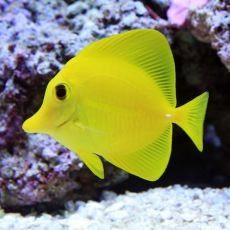 peste Yellow Tang - Hawaii (Zebrasoma Flavescens) S