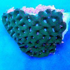 Brain Coral Pineapple (Favites spp.)